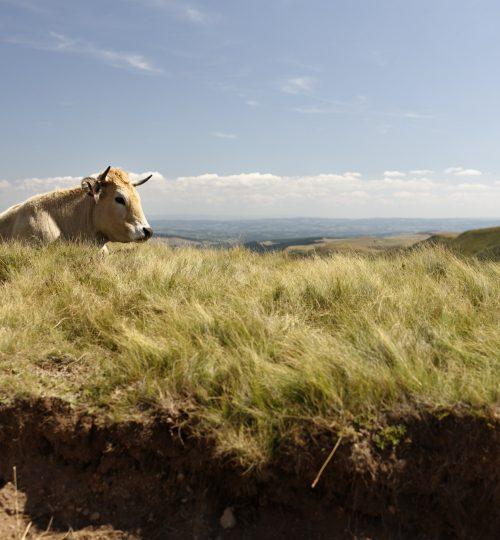 Par ici la résilience - Vaches