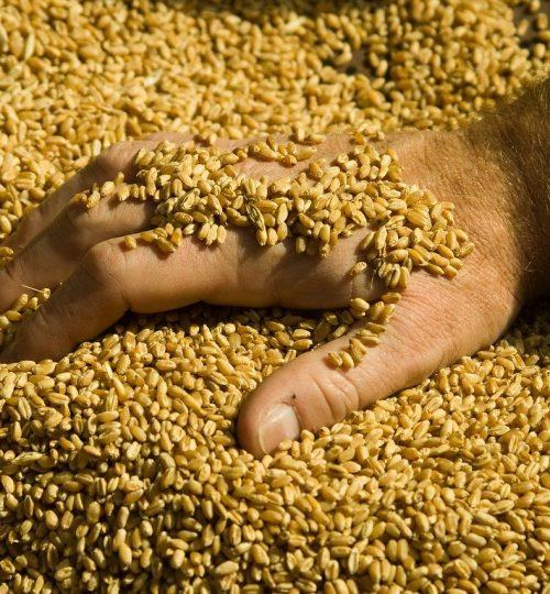 Par ici la résilience céréales